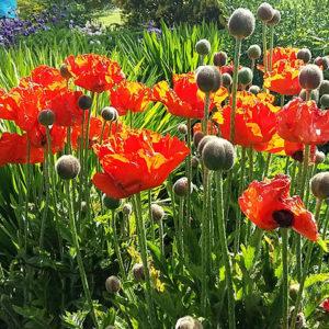 Cawdor Castle garden red poppies