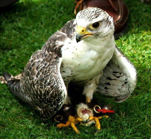 Dunrobin eagle owl CEDAR 2008