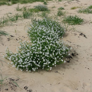 Sea rocket in full bloom, delicately scented, at Dornoch Beach.